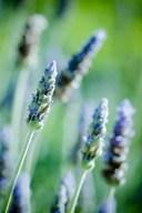 Ý nghĩa của hoa lavender