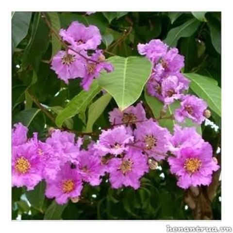 Tên khoa học: Lagertroemia speciosa, thuộc họ Lythraceae. Cây có nguồn gốc từ Ấn Độ là một loài thực vật thuộc chi Tử vi (Lagerstroemia – một tông chi lớn