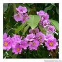 Ý nghĩa của hoa bằng lăng tím