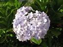 Ý nghĩa của hoa cẩm tú cầu