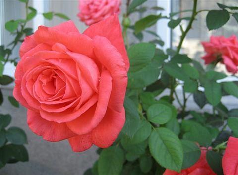 Cách chăm sóc cây hoa hồng