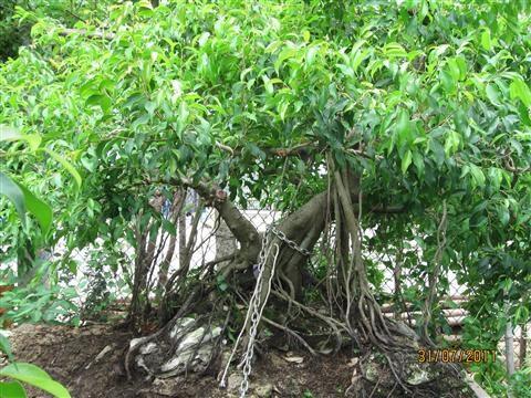 Cách chăm sóc cây sanh