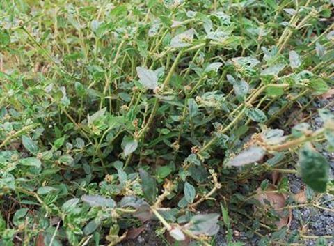 Tác dụng của cây cỏ sữa nhỏ