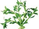 Công dụng chữa bệnh của rau ngò ôm (rau ngổ)
