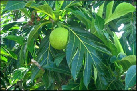 Công dụng của lá cây sa kê