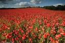 Hình ảnh cánh đồng hoa đẹp 'hớp hồn'