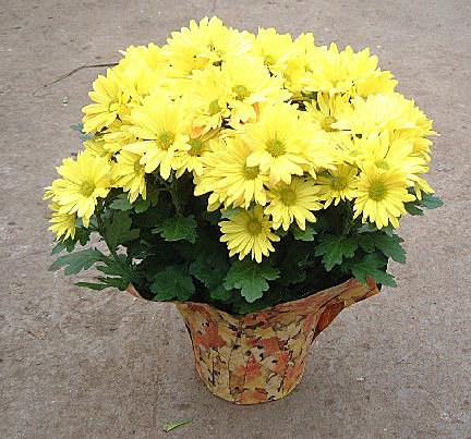 Cách trồng hoa cúc vạn thọ