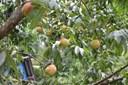 Các loại cây ăn quả ở miền Bắc
