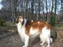 Các giống chó quý tộc đẹp và đắt nhất thế giới