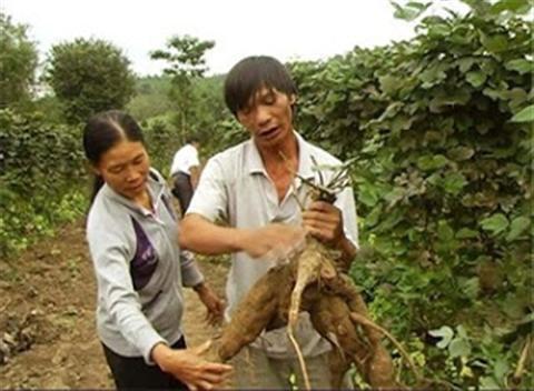 Tác dụng chữa bệnh của bột sắn dây