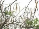 Tác dụng chữa bệnh của cây chùm ngây