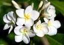 Tác dụng chữa bệnh của hoa sứ trắng