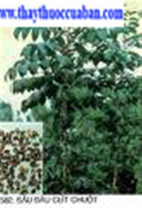 Tác dụng chữa bệnh của cây khổ sâm