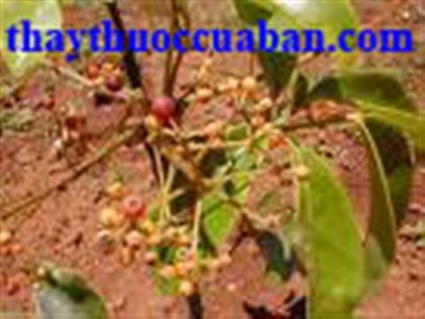 Tác dụng chữa bệnh của cây ngũ gia bì
