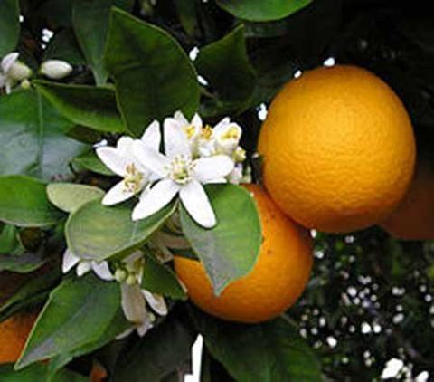 Tác dụng chữa bệnh của quả cam