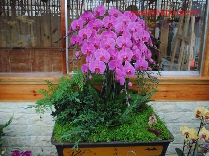 Cách chăm sóc hoa lan hồ điệp cho hoa nở đẹp tươi lâu