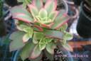 Cách chăm sóc hoa sen đá cho cây hoa xanh tốt tươi tắn