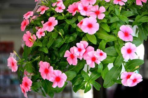 Cách chăm sóc hoa dừa cạn cho cây hoa nở rực rỡ