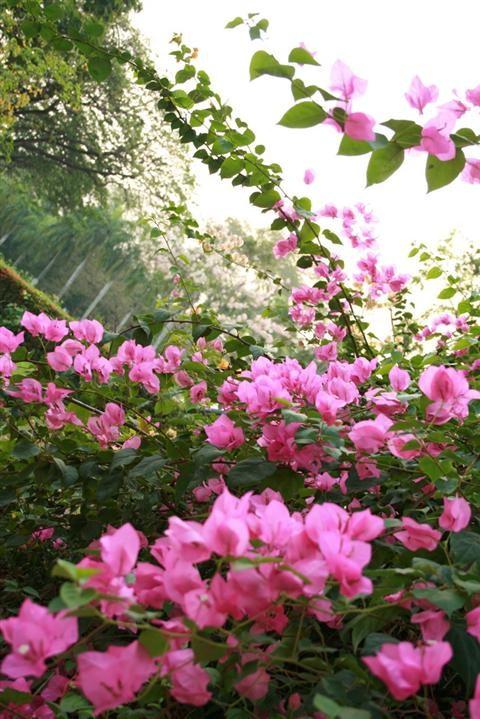Cách trồng và chăm sóc cây hoa giấy nở hoa đẹp nhất
