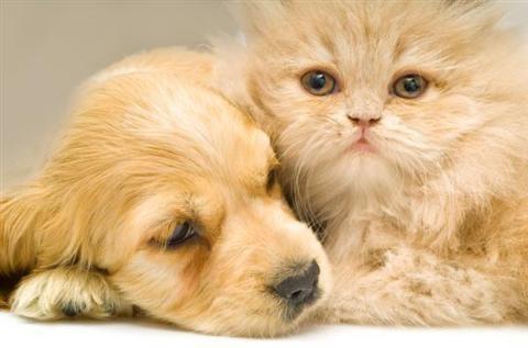 Chữa bệnh đau mắt cho mèo con đơn giản rất hiệu quả