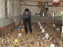 Hướng dẫn làm chuồng nuôi gà đúng cách