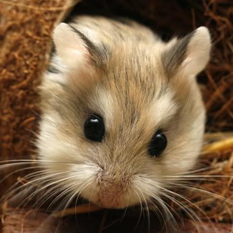 Cách trị bệnh tiêu chảy ở hamster đơn giản hiệu quả. Nói chung Hamster là một loài động vãt khá mạnh khỏe và ít bị bệnh tật trong tự nhiên. Tuy nhiên