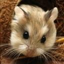 Cách trị bệnh tiêu chảy ở hamster đơn giản hiệu quả