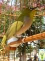 Cách nuôi chim vành khuyên hót hay