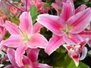 Cách chọn hoa Ly nở đẹp lâu tàn