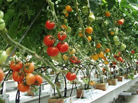 Phương pháp bảo quản Cà chua không bị hỏng. Cà chua có hàm lượng Vitamin A cao, được sử dụng nhiều vào việc chế biến làm tăng hương vị và màu sắc món ăn.