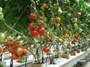 Phương pháp bảo quản Cà chua không bị hỏng