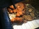 Kinh nghiệm nuôi chó lạp xưởng (dachshund)