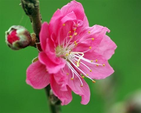 Hoa đào ngoài tác dụng trang trí trong ngày Tết còn có công dụng đặc biệt trong làm đẹp.Chúng ta cùng điểm lại những tác dụng làm đẹp của hoa đào