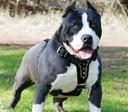 Kinh nghiệm nuôi chó pitbull- những thông tin cần biết trước khi quyết định nuôi