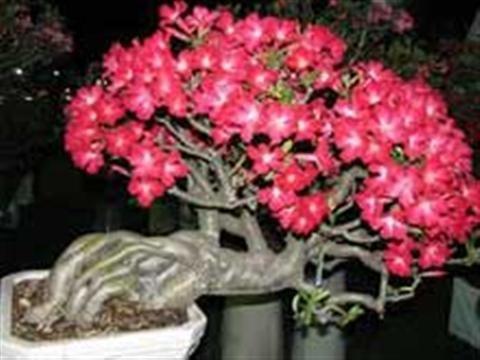 Cây hoa sứ được nhiều người yêu thích nhờ vào vẻ đẹp của nó và nó lại rất dễ trồng. Cùng tham khảo những hướng dẫn trồng hoa sứ đúng kĩ thuật nhé.