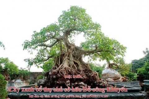 Hướng dẫn trồng cây sanh cảnh