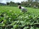 Hướng dẫn trồng cây đậu xanh hiệu quả cao
