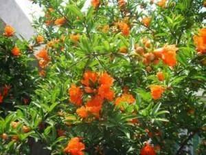 Cùng tham khảo những hướng dẫn trồng cây lựu ra nhiều hoa và sai quả nhé. Cây lựu nhiều cành nhánh, nhiều lá, hoa tươi, đầu cành lại có quả trong rất đẹp,