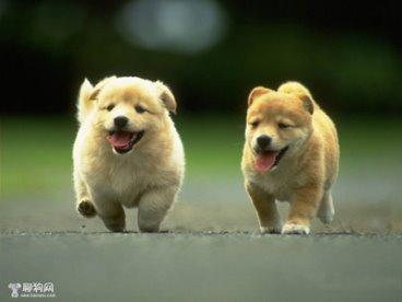 Cách chăm sóc chó con bí quyết nuôi chó con thông minh, đáng yêu. Bạn muốn nuôi một em cún thật khoẻ mạnh, không phải bạn cứ ra cửa hang chọn một em nhanh