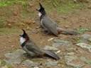 Cách chăm sóc chim chào mào non nhanh lớn, hót hay