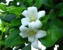 Cách trồng và chăm sóc cây nguyệt quế để cây luôn xanh tốt