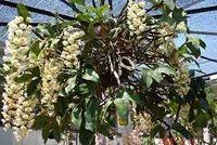 Cách chăm sóc hoa Lan Nghinh xuân nử hoa đẹp rực rỡ