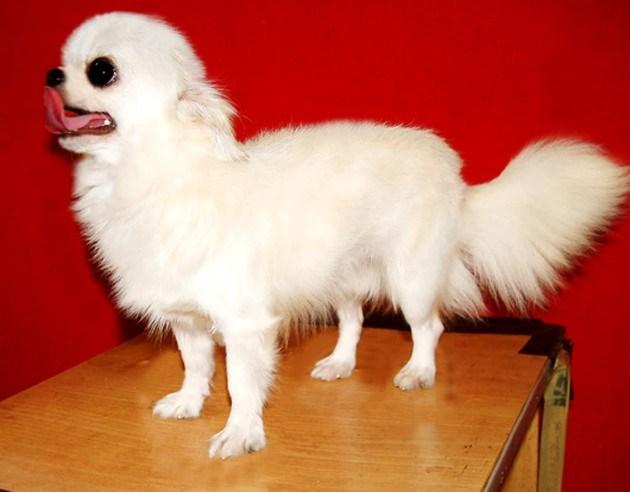 Kinh nghiệm nuôi chó Chihuahua