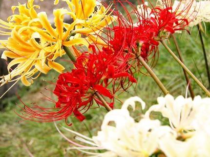 Ý nghĩa của hoa Bỉ ngạn