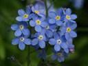 Ý nghĩa của hoa Forgetmenot