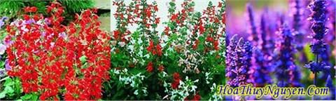 Loài hoa với mầu sắc đỏ tươi tắn rất đẹp mắt, cánh hoa mỏng và có mầu đỏ như xác của những quả pháo nổ, vì thế loài hoa mới được đặt tên như vậy. Hoa