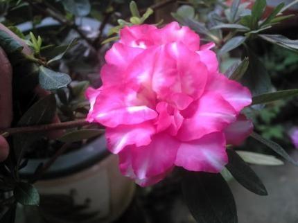 Ý nghĩa của hoa đỗ quyên