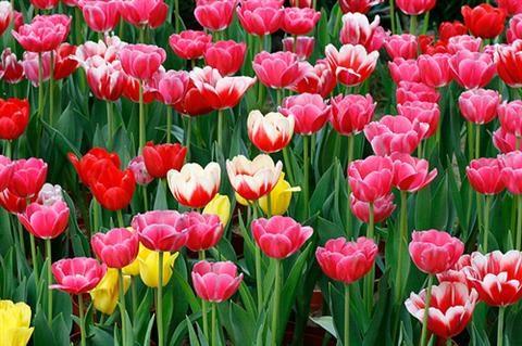 Cách trồng hoa tulip