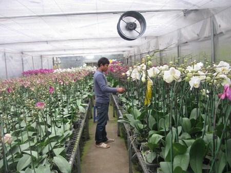 Cách trồng lan hồ điệp ra hoa
