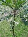 Tác dụng của cây mật nhân: trị khí hư huyết kém